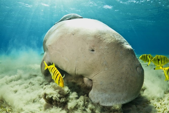 Dugong-at-Murex-Bangka