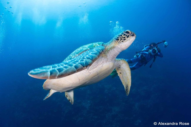 Green Sea Turtle at Bunaken Island