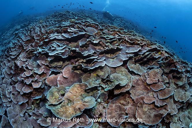 Hard Coral reef Bunaken
