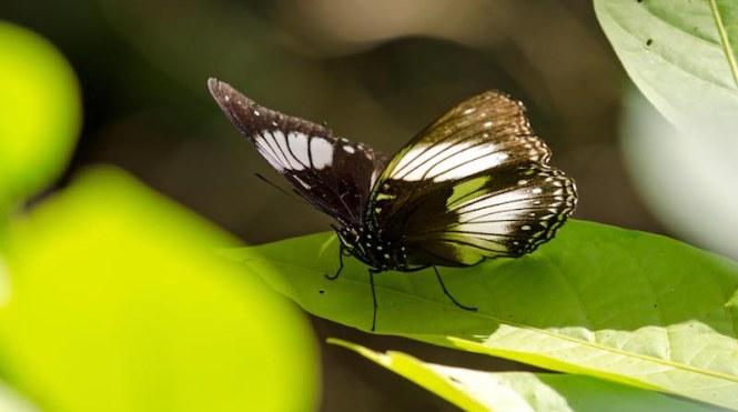 Tangkoko buterfly