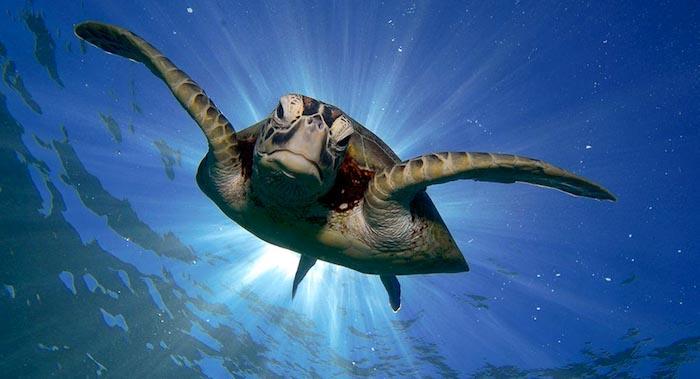 Turtle snorkeling in Bunaken