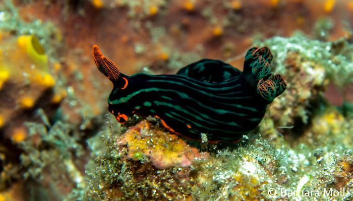 Nembrotha Sulawesi