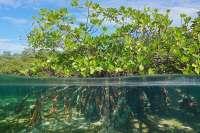 Mangroves Sulawesi
