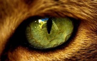 Глазные паразиты у кошек лечение - Муркин Дом