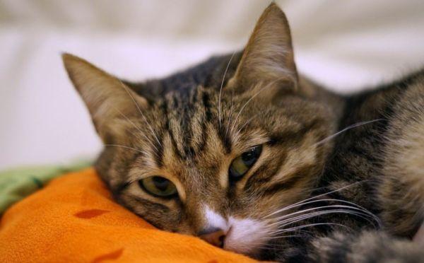 Власоеды у кошек: симптомы с фото и лечение в домашних ...
