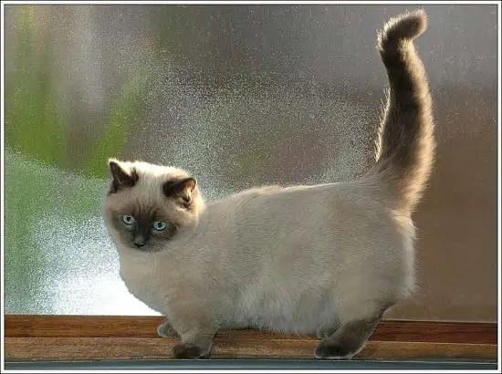 Munchkin adalah jenis kucing terpintar