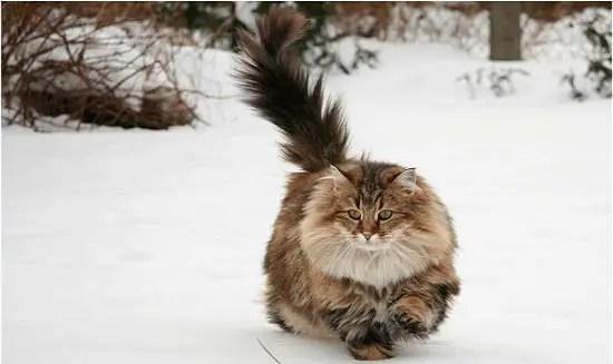 kucing hutan norwegia