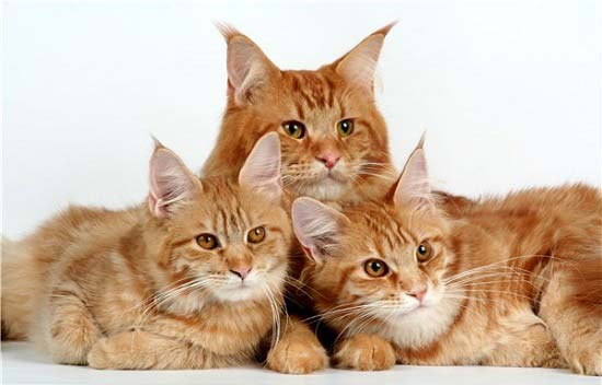 Maine Coon adalah kucing terpintar