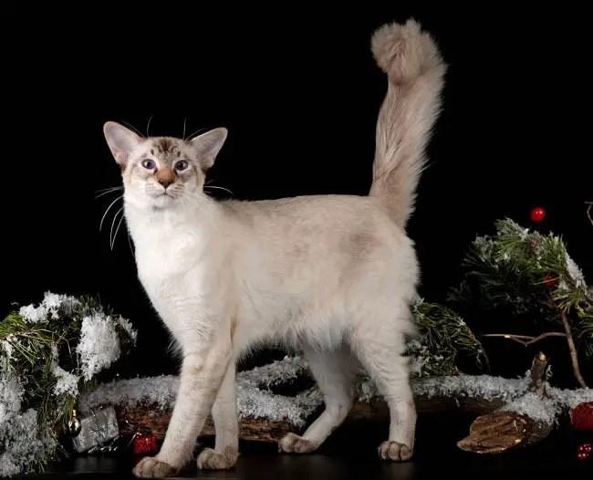 Kucing Bali -  termasuk jenis kucing terpintar