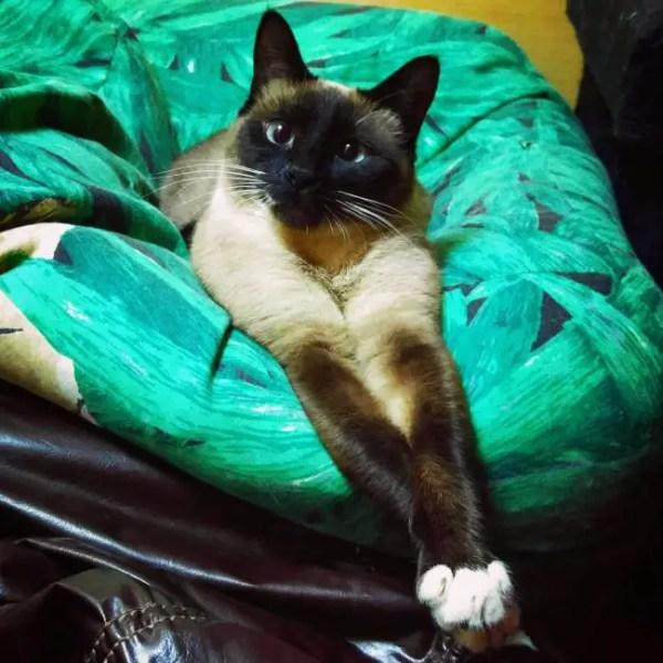Сиамская кошка: фото, описание породы, цена, характер ...