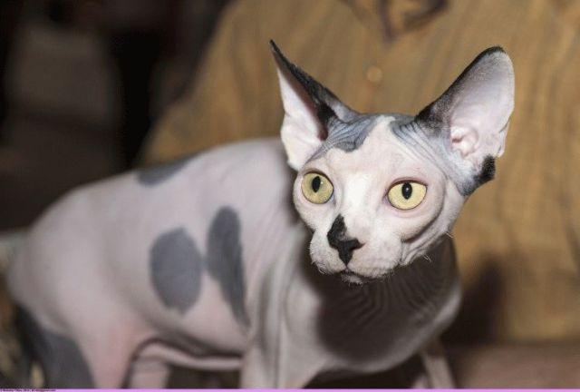 Лысые кошки - Канадский сфинкс