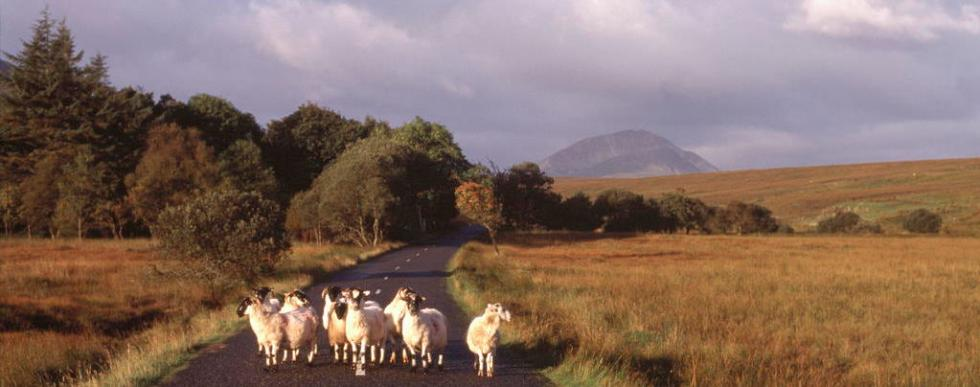 Donegal Highland Sheep