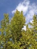 Ginkobaum