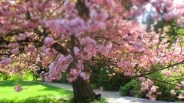 Kirschblüte - Hanami