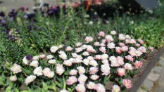 TulipanZauberblüte_6721