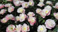 TulipanZauberblüte_6722