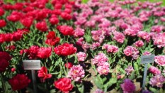 TulipanZauberblüte_6727