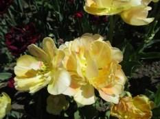 TulipanZauberblüte_6749