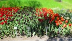 TulipanZauberblüte_6752