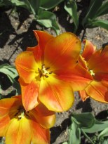 TulipanZauberblüte_6754