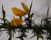 Gorse flowering!