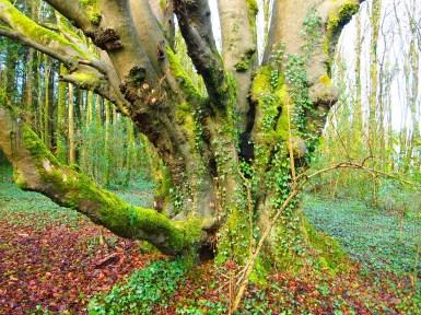 Large beech tree