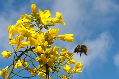Bumblebee and brassica