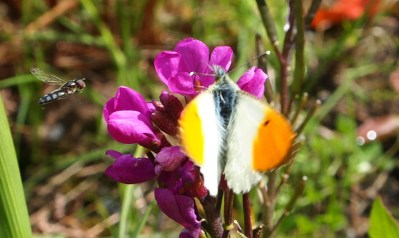Orangetip and hoverfly