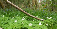 Raheen wood
