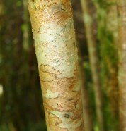 Hazel branch