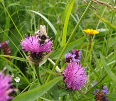Knapweed with a rather worn out bee