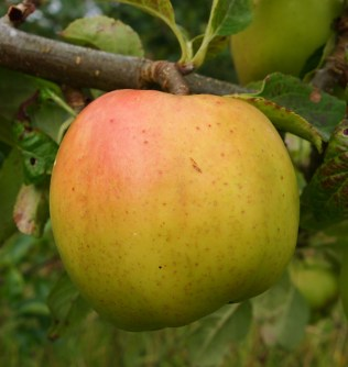 Brambley apple