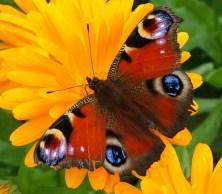 Peacock butterfly on calendula