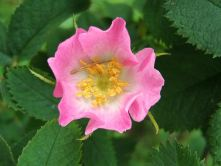 Dog rose is common in our hedgerows and a favourite of some of our bumblebees