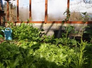 Salad crops - endive and rocket