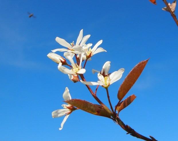 June berry blossom