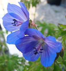 Meadow cranesbill