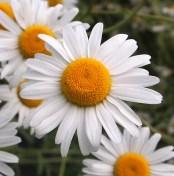 Ox-eyed daisy