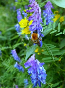 Carder bee on tufted vetch