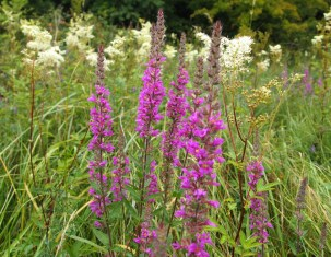 Loosestrife and Meadowsweet in background