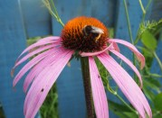 Red tailed bumble