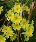 false oxlip
