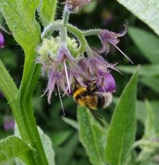 Heath Bumblebee