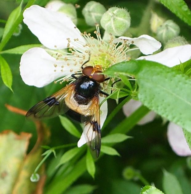 Various Volucella species all mimicking bumbles