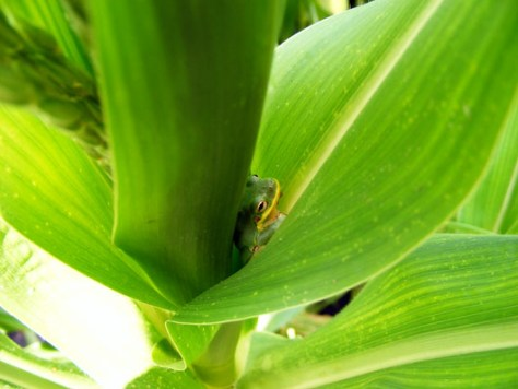 Frog in the corn June 13 2008