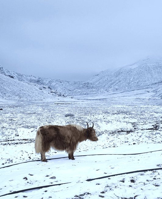Rokpu the Yak