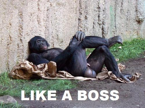 gorilla with high testosterone