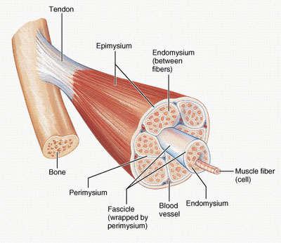 muscle-tissue-structure