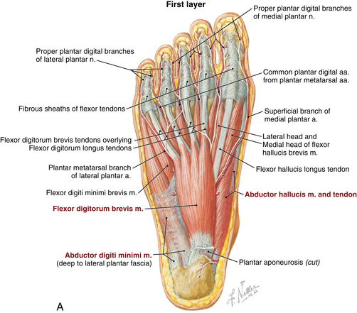 Image result for foot intrinsic muscles netter