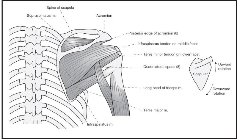Shoulder Musculoskeletal Key